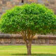Blossoming tree Jasmine with Green Leaves, ancient wall background — ストック写真 #22925844