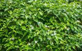 Jasmine Green Leaves, background — Stock Photo