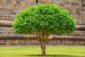 цветущий жасмин дерево с зелеными листьями, древние стены фон — Стоковое фото