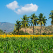 Stock Photo: Beautiful landscape with a field of sunflower and young shots of corn on the cloudy blue sky with palm trees and mountains