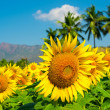 Field of sunflower on the cloudy blue sky with palm trees and mountains — Stock Photo