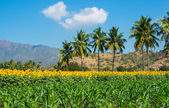 Beautiful landscape with a field of sunflower and young shots of corn on the cloudy blue sky with palm trees and mountains — Stock Photo