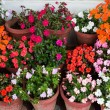 Various flowers Impatiens in containers - Stock Photo