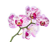 Blooming motley orchid isolated, background — Stock Photo