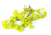 Blossoming branch of a maple, isolated — Stock Photo