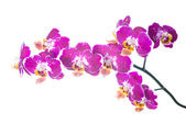 Spotty orchid isolated on the white — Stock Photo