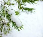 Kerstmis fir tak in winter forest — Stockfoto