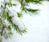 Christmas fir branch in winter forest — Stock Photo