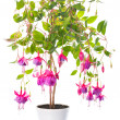 Fuchsia flower houseplants in flower pot, Tennessee Walts — Stock Photo