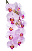 Gentle the pink orchid is isolated on a white background — Stock Photo