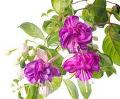 Lilac fuchsia flower isolated on white background, Heydon — Stock Photo