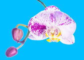 Motley lilac orchid isolated with bud, on a blue background — Stock Photo
