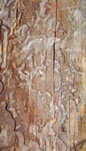 Texture of corroded bark of a pine — Stock Photo