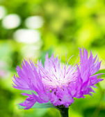 Lilac cornflower on a green spring background — Stock Photo