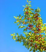 Ripe cherry on a blue background — Stock Photo