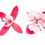 Red and white fuchsia flower on white — Stock Photo