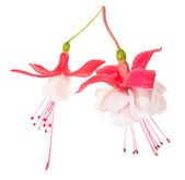 Flowers of a fuchsia of different grades — Stock Photo
