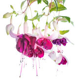 Violet and pink fuchsia flower isolated, Tamara Balyasnikova — Stock Photo