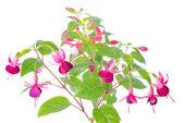White and red fuchsia flower isolated — Stock Photo