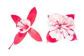 白地に赤と白のフクシアの花 — ストック写真