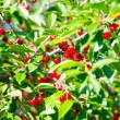 Branch of ripe cherry in a garden — Stock Photo