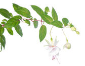 White fuchsia branch isolated on white, Frank Unsworth — Stock Photo