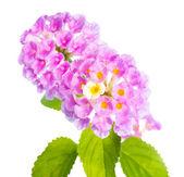 Flower Lantana camara isolated on white background — Stock Photo