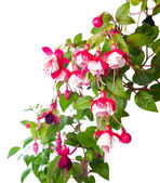 Blossoming red and white of a fuchsia is isolated, Alwin — Stock Photo