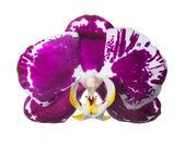 необычные темные орхидеи, изолированные на белом, крупным планом — Стоковое фото