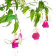 Stock Photo: Branch red with white fuchsias is isolated on white, Moo