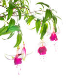 The branch red with white fuchsias is isolated on the white, Moo — Stock Photo