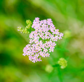 Milfoil herbal medicine, Yarrow (Achillea millefolium), green bl — Stock Photo