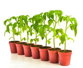 A row of seedling tomato in pots, isolated — Stock Photo