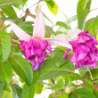 Fuchsia flower houseplants — Stock Photo