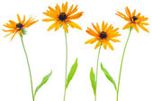 Four flower yellow coneflower the isolated — Stock Photo