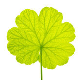 The green leaf of a geranium is isolated on a white background — Stock Photo