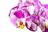 Bright violet orchid isolated on white background — Stock Photo