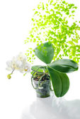 Blooming white orchid in flowerpot with leaves fern, isolated o — Stock Photo