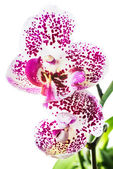 Blooming motley orchid, isolated on white background — Stock Photo