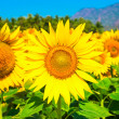 Field of blooming sunflower blue sky with mountains — Stok fotoğraf #39036289