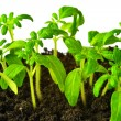 Seedling of young tomato plant in land is isolated — Stock Photo