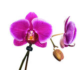 Branch purple orchid isolated on white background — Stock Photo