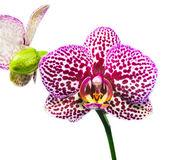 Flor púrpura manchada orquídea aisladas sobre fondo blanco — Foto de Stock