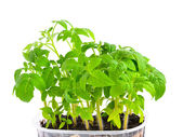 Seedling of young tomato plant in capacity with land is isolate — Stock Photo