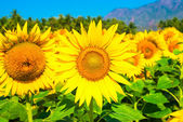 Field of blooming sunflower blue sky with mountains — Stock Photo