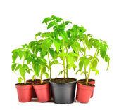 Green seedling illustrating concept of oppression — Stock Photo