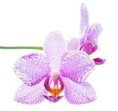 Beautiful spotted lilac orchid is isolated on white, closeup — Stock Photo