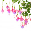 Blossoming branch lilac of a fuchsia, isolated on white backgrou — Stock Photo