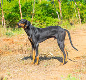Beautiful big dog standing on outdoor — Stock Photo