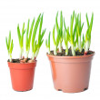 Fresh green onion different size in a pot. — Stock Photo #40846865